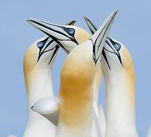 greetings my friends, gannets, Saltee Island, County Wexford, Ireland by Andrew Jones