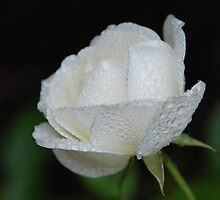 Water droplet covered rose by rachelroo