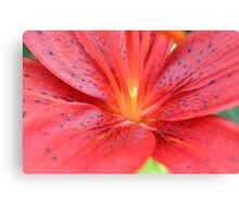 red Lilly detail Canvas Print