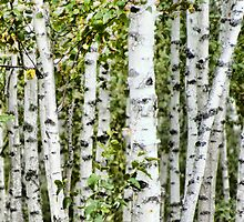 Paper Birch by pshootermike