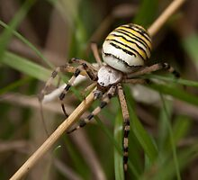 Wasp Spider at Hall Place by Deborah Durrant