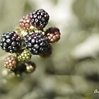 Blackberries delight by aruni