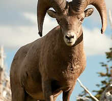 Big Horn Sheep #4 by JimGuy