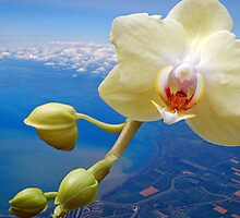Flight of the white Orchid by Diane  Kramer