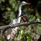 Azure Kingfisher. by trevorb