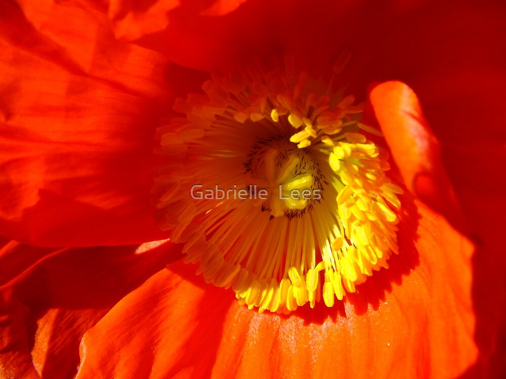 Springtime Poppy! by Gabrielle  Lees