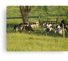 Cows Gathering Canvas Print