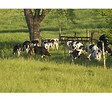 Cows Gathering Photographic Print