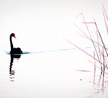 Black Swan 2 by LauraMPhoto