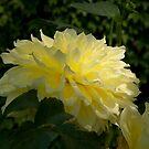 Lemon Chiffon by Lydia Marano