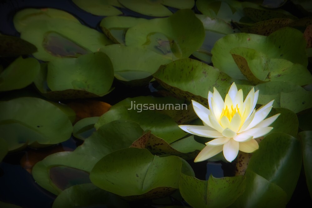 Water Lily by Jigsawman