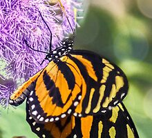 Monarch Butterfly. by ScenicViewPics