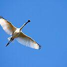 Spoonbill in flight. by trevorb