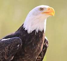 Bald Eagle (Haliaeetus leucocephalus) by DutchLumix