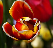 Tulip Tips.. by Kristina K