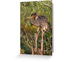Green Heron, all puffed up   Greeting Card