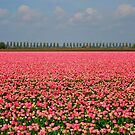Candy Tulip Field by Jo Nijenhuis