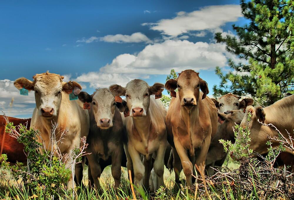 Posing Cows by Leasha Hooker