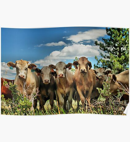 Posing Cows Poster