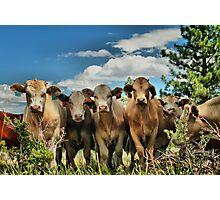 Posing Cows Photographic Print