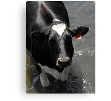 Why are you taking my pictur silly man? MOOOOOOO! Canvas Print