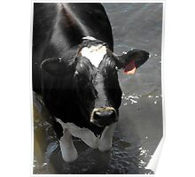 Why are you taking my pictur silly man? MOOOOOOO! Poster