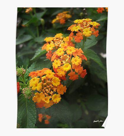 Beautiful Orange and Yellow Lantana 2 Poster