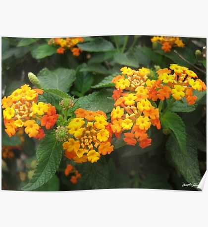 Beautiful Orange and Yellow Lantana 3 Poster