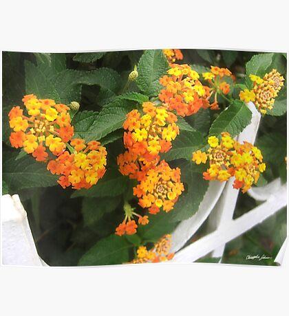 Beautiful Orange and Yellow Lantana 4 Poster