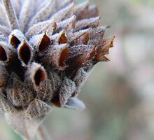 Desert Sage Gone to Pod by Leyla Hur