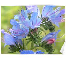 Blue Flowers - Culross Palace Gardens Poster