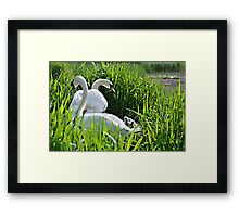 Swans With Cygnets Framed Print