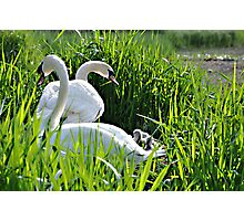 Swans With Cygnets Photographic Print