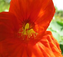 Internal Flame Nasturtium by MarianBendeth