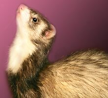 Ferret by kwilsonimages