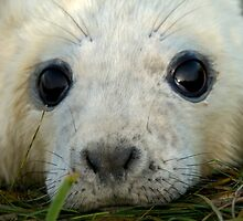 Newly Born Seal Pup by Robert Taylor