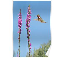 male ruby throat hummingbird 15 2015 Poster