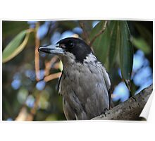 Grey Butcher Bird Poster