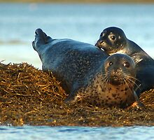Harbor seal Mother and Pup by yeimaya