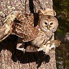 2009 02 Barred Owl  by yeimaya