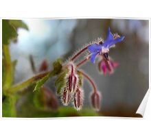 Borage with a touch of fractalius Poster