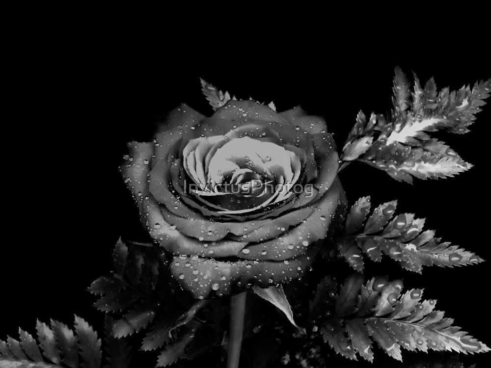 Misted Rose by InvictusPhotog