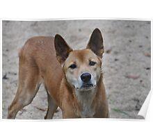 Dingo Poster
