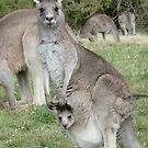 Kangaroo and Joey by apotek