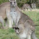 Kangaroo and Joey by apotek