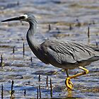 White-faced Heron at Merimbula by Darren Stones