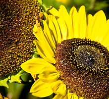 Sunflower by Steve Lents