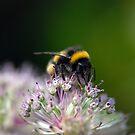 'bbzzzzzz' in my Peebles garden by rosie320d