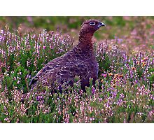 Grouse #3 Photographic Print