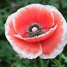 Poppy Perfection. by Tracy Wazny